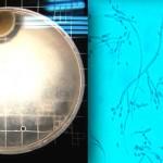 Dentro de las colonias identificadas en el area se puede mencionar: El Aspergillus, que es un género de alrededor de 600 hongos u es ubicuo. Los hongos se pueden clasificar en dos formas morfológicas básicas: las levaduras y las hifas.