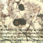 corresponde al hongo Aspergillus spp, identificado en 28 cepas obtenidas de la superficie hisopada de los Legajo/Libro Cuenta incluidos en el estudio.